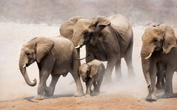 Elephant herd stock image