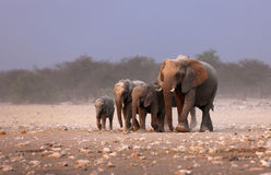Elephant herd. Approaching over dusty plains of Etosha Royalty Free Stock Image