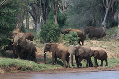 Elephant Herd. African elephant herd in a riverine forest Stock Photography