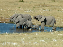A Elephant Herd royalty free stock photography