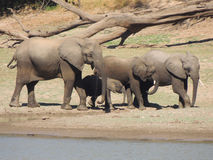 Elephant herd Royalty Free Stock Image