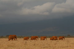 Elephant Herd Stock Photo