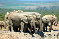Elephant herd. A big herd of many wild African elephants standing together at a waterhole, playing with the water, drinking and watching wildlife in a game park Stock Photo