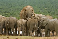 Elephant Herd. Each Elephant herd is headed by a large Bull, here seen looking over his subjects royalty free stock photo