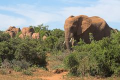 Elephant Herd. In the African bush Stock Photo