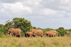 Elephant herd, Addo Elephant National park, South Africa Stock Image