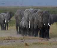 Elephant Herd, Africa. Herd of wild elephants at dusk, kicking up dust,  wet and walking on the East African savanna, after a bath in a watering hole in Amboseli Royalty Free Stock Photo