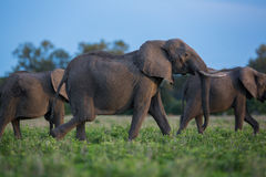 Elephant herd in Africa, Zambia Royalty Free Stock Photography