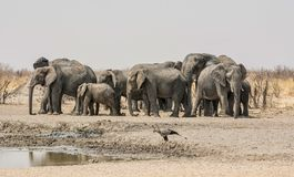 Elephant Herd. A herd of African Elephants and a Secretarybird at a watering hole in Namibian savanna Stock Photo