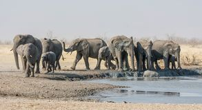 Elephant Herd. A herd of African Elephants at a watering hole in Namibian savanna Stock Image