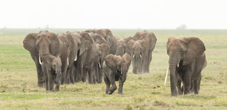 Elephant herd in Amboseli, Kenya Royalty Free Stock Photography
