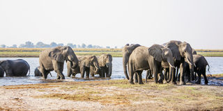 Elephant Herd Approaching through the river Royalty Free Stock Images