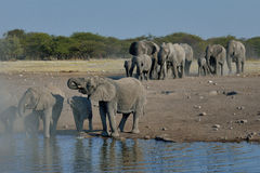 Elephant herd arriving at waterhole in Etosha National Park, Namibia. Elephant herd arriving at waterhole after long and thirsty trek in Etosha National Park Royalty Free Stock Photography