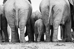 Elephant herd. Backside of a elephant herd standing close together in black and white, Addo elephant Park, South Africa stock photos