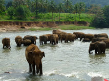Elephant herd bathing. Herd of elephants bathing in a river in tropical conditions royalty free stock photography