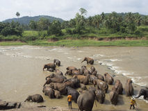 Elephant herd bathing in the river Royalty Free Stock Image