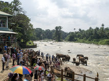 Elephant herd bathing in the river Royalty Free Stock Images