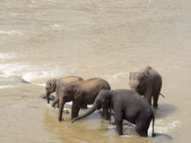 Elephant herd bathing in the river Stock Photography