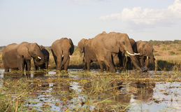 Elephant herd in Botswana Stock Photography