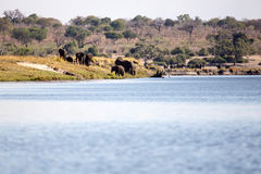 Elephant Herd in Botswana. Chobe River, Chobe National Park, Botswana, Africa Royalty Free Stock Photo