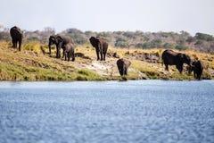 Elephant Herd in Botswana Stock Photo