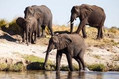 Elephant Herd in Botswana Royalty Free Stock Photography