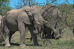 Elephant Herd. Elephant in the brush with his herd Royalty Free Stock Images
