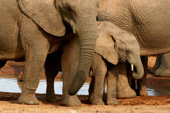 Elephant herd with calf. Group of elephants with baby at the watering hole royalty free stock image