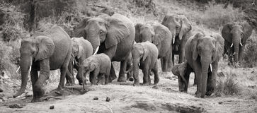 Elephant herd calf and mother charge towards water hole Stock Photography