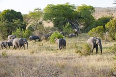 Elephant herd, Tanzania Stock Image