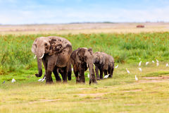 Elephant Herd with Cattle Egrets Stock Photography
