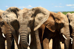 Elephant herd close up portrait. Close up portrait of elephant herd with blue sky background Stock Photography