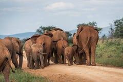 Elephant herd Stock Photos