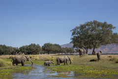Elephant herd crossing water Royalty Free Stock Photography