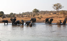 Elephant herd drink at waterhole Stock Image