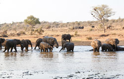 Elephant herd drink at waterhole Stock Photos