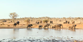Elephant herd drink at waterhole Royalty Free Stock Photos