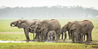 Elephant herd drinking, Amboseli, Kenya Royalty Free Stock Images