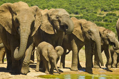 Elephant herd drinking Stock Images