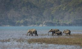Elephant Herd drinking water. In Corbett Tiger Reserve India royalty free stock images