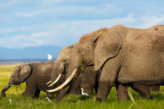 Elephant herd eating grass. Elephant family with a lot of Cattle Egrets in Amboseli National Park in Kenya stock image