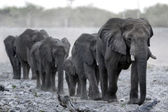 Elephant herd. Coming in to stock photography