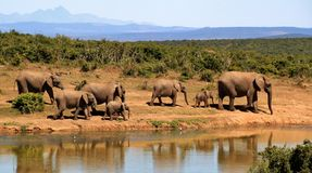 Elephant, Herd Of Elephants Royalty Free Stock Photography