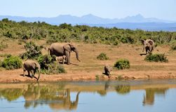 Elephant, Herd Of Elephants Stock Photo