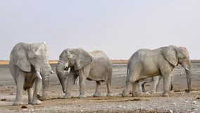 Elephant, Herd Of Elephants, Africa Royalty Free Stock Photos