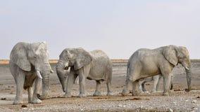 Elephant, Herd Of Elephants, Africa Royalty Free Stock Photos