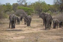 Elephant herd Royalty Free Stock Photo