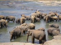 Elephant Herd Stock Photography