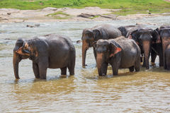 Elephant herd enjoying the cool water Royalty Free Stock Images