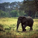 Elephant. Herd ivory  savannah field sky africa  grass Royalty Free Stock Photo